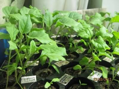 Как вырастить рассаду капусты в 33